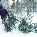 Купить елку к Новому году карпинцы смогут с 16 декабря