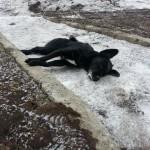 В Карпинске мертвый пес пролежал около семи часов практически в центре города