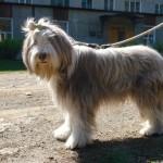 Особые породы собак: истории карпинских собаководов
