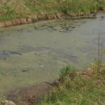 На озере у Волчанска убили белого лебедя