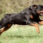 Госдуме предлагают ввести «ОСАГО» для владельцев бойцовых собак