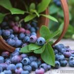 Подростки и взрослый из сосьвинского поселка Восточный ушли за ягодами два дня назад и не вернулись