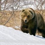 Медведь напал на карпинца в лесу