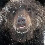 В лесах у Карпинска и Кытлыма искали медведя, напавшего на охотника