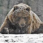 Карпинского охотника, пострадавшего от медведя, лечат в Екатеринбурге