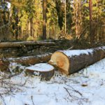 В Карпинском лесничестве обнаружена незаконная рубка деревьев. Ущерб – более 800 тысяч рублей