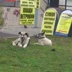 В Карпинске за две недели отловили 37 бродячих собак